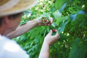 hombre cosechando sus frutos en el campo argentino