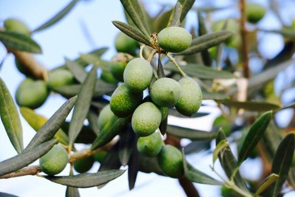 cosecha de oliva en argentina