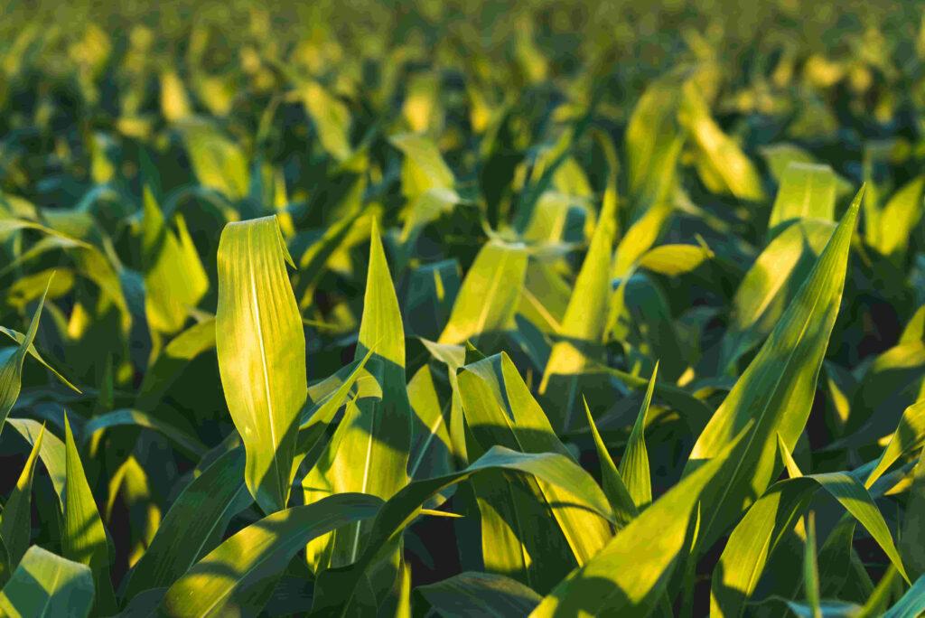 plantación de maíz exitosa en campo argentino