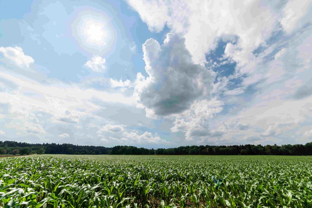 plantación de maíz en argentina