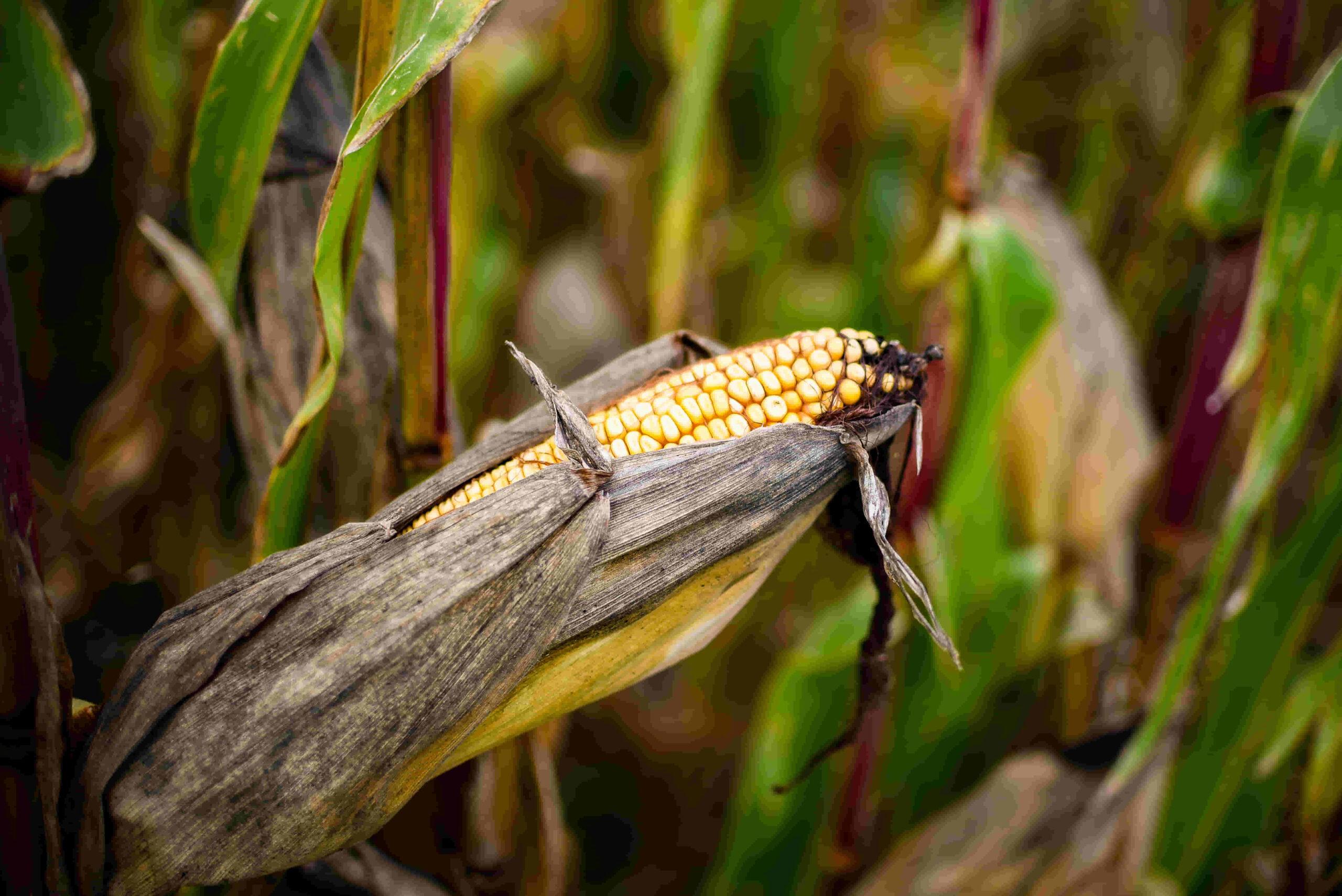 maíz amarillo sembrado en campo argentino