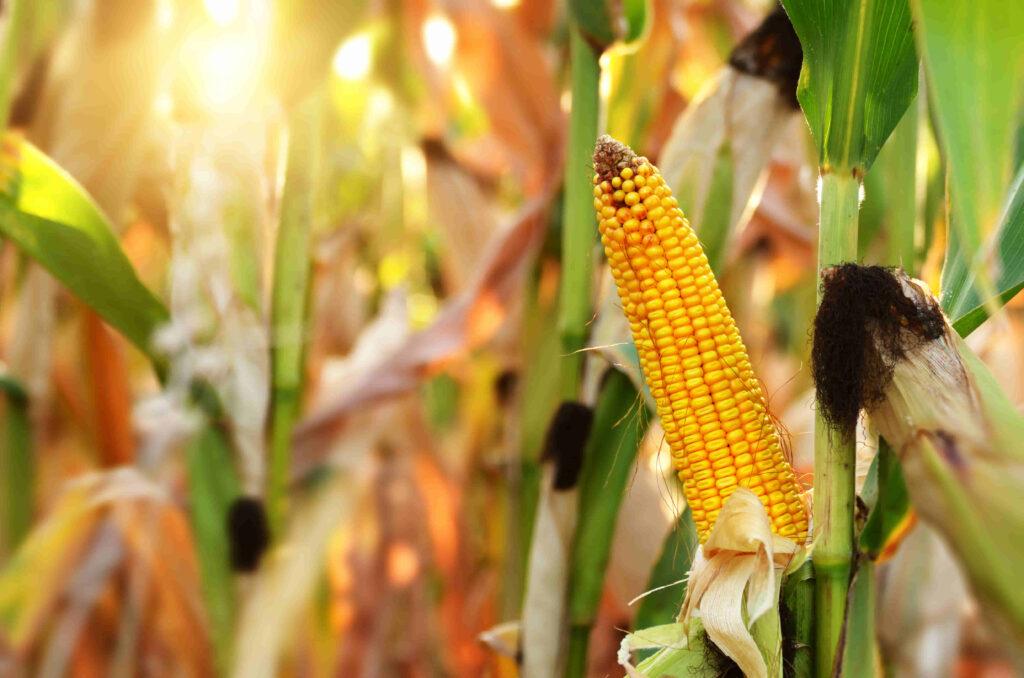 maiz hibrido sembrado en campo de argentina para obtener un mayor rendimiento