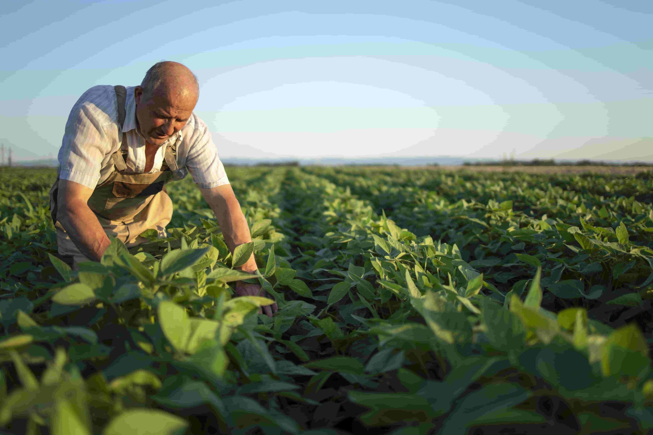 semillas siendo sembradas con el método de siembra directa