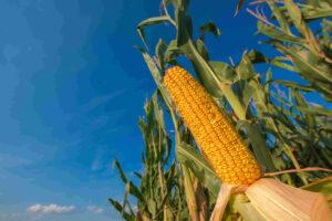 maíz hibrido de siembra tardía en argentina con beneficios